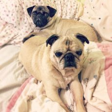 Pugs laying on Pug
