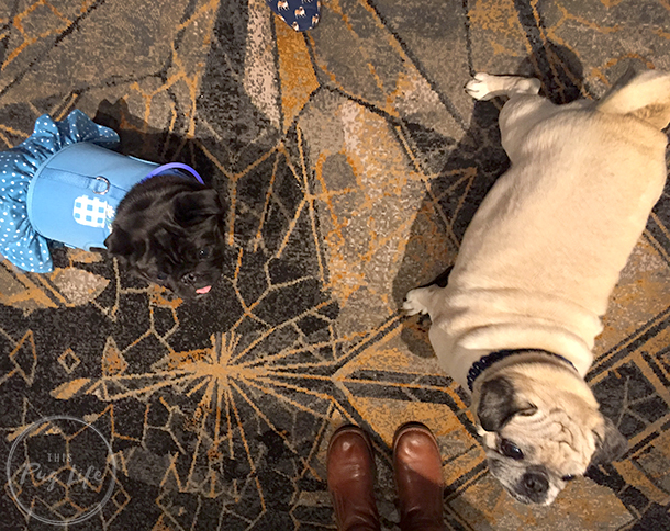 Pugs Take Chicago Pug Prosecco Hour Kimpton Hotel Allegro
