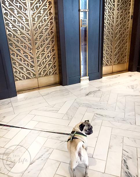 Pugs Kimpton Hotel Allegro Chicago