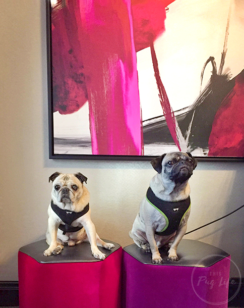 Pug and Pugs Kimpton Hotel Allegro