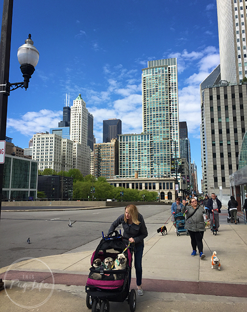 Pugs Take Chicago Pug Parade