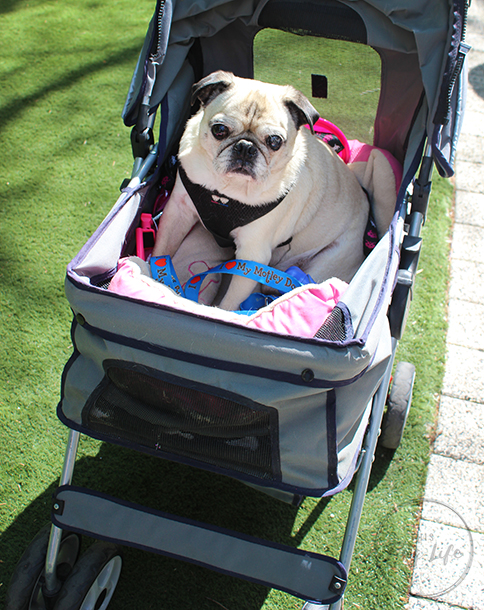 Pugs Take Chicago Pug in stroller dog park