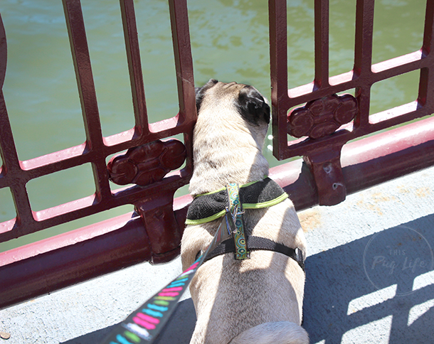 Car Lots Near Me >> Pugs Take Chicago – Pugs in the City – This Pug Life