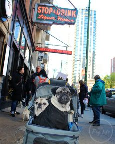 Pugs Take Chicago Clark Street Ale House