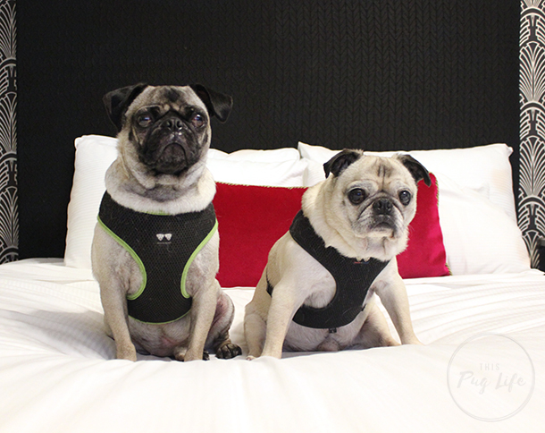 Pug and Pugs Kimpton Hotel Allegro Chicago bed