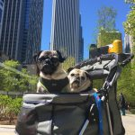 Pugs Take Chicago – Pugs in the City