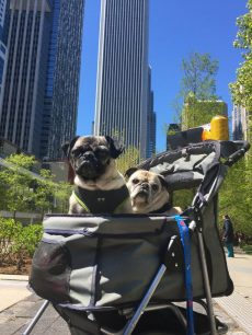 Pug and Pugs Chicago Skyline stroller