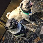 Pugs Take Chicago – Pug Prosecco Hour at Hotel Allegro