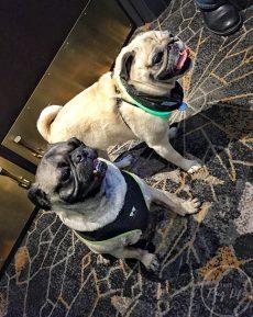 Pugs Take Chicago Pug Prosecco Hour Kimpton Hotel Allegro