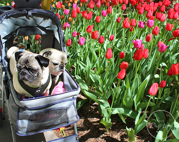 Pugs Take Chicago dog park tulips