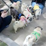 Pugs Take Chicago – Dog Park Pug Meetup