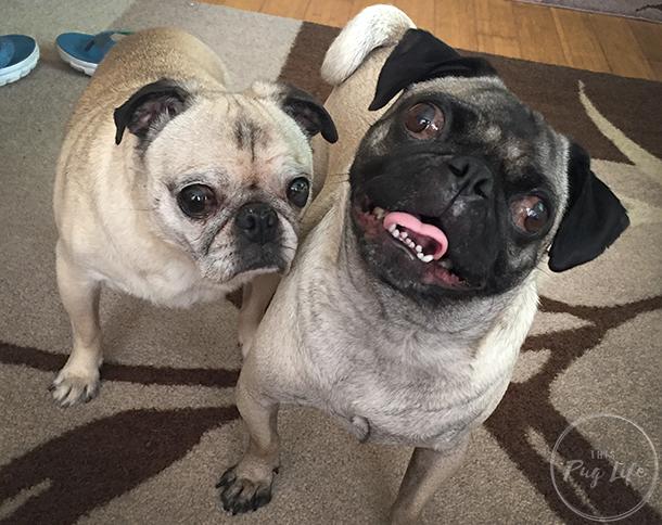Pug and Pugs smiling