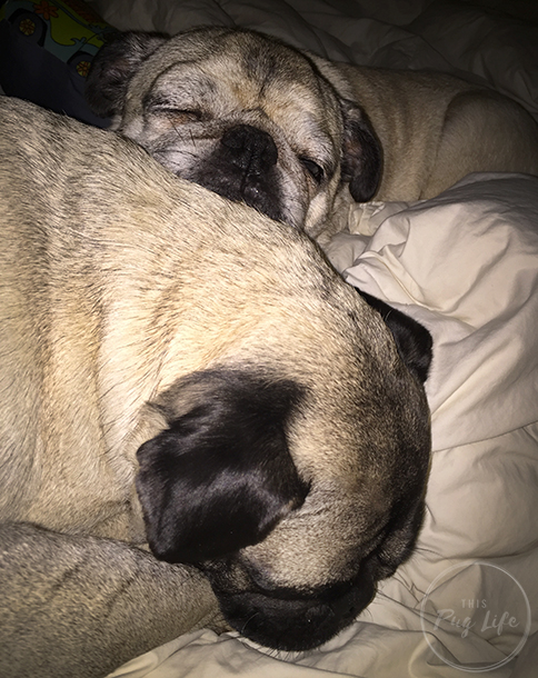 Pug and Pugs cuddle