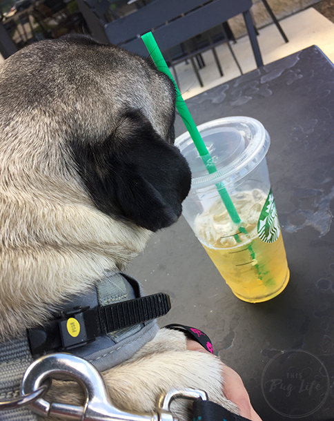 Pugs at Starbucks green tea