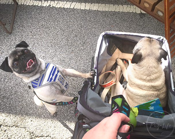 Pugs r2d2 harness. pug in stroller