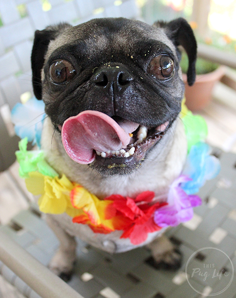 Pug wearing lei with food on his face