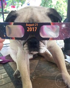 Pug wearing eclipse glasses