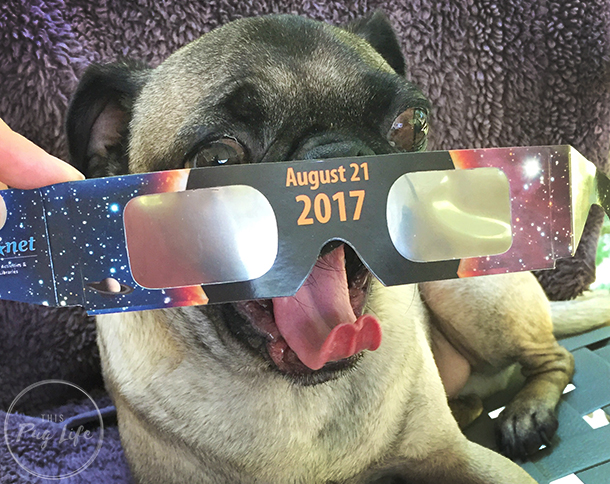 Pugs wearing eclipse glasses