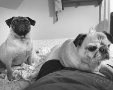 Pugs and Pug BW