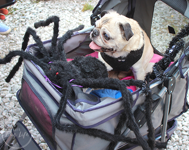Pug in stroller with giant spider