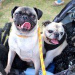 Pug and Pugs at Howl-O-Ween 2017