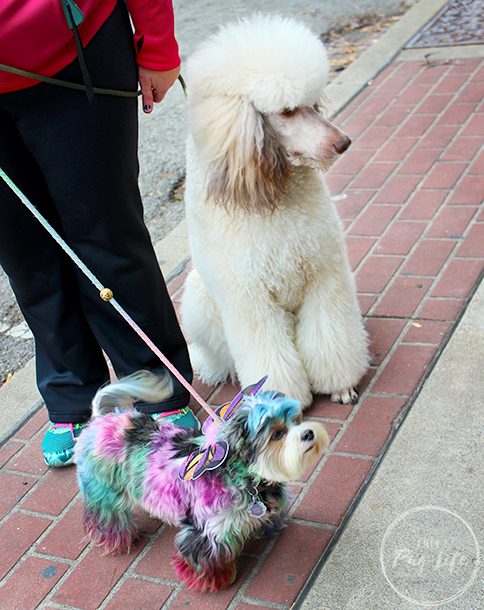 Standard poodle and tie dyed dog