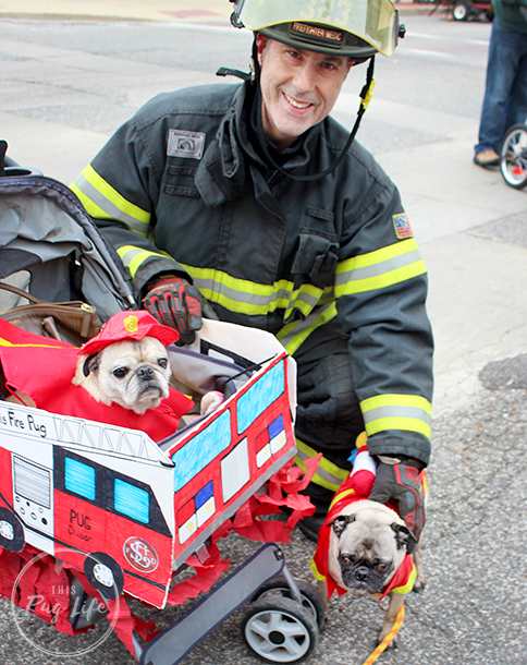 Pugs dressed as firefighters with firefighter