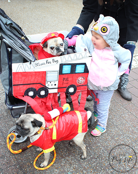 Pugs dressed as firefighters