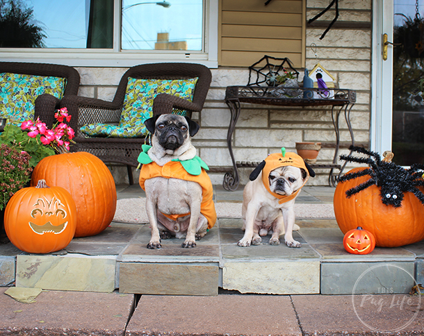 Pugs in pumpkin costumes with pug jack o' lantern