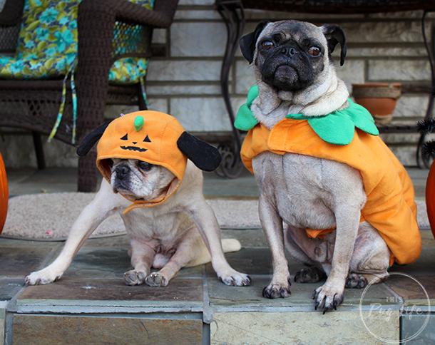 Pugs dressed as pumpkins Halloween