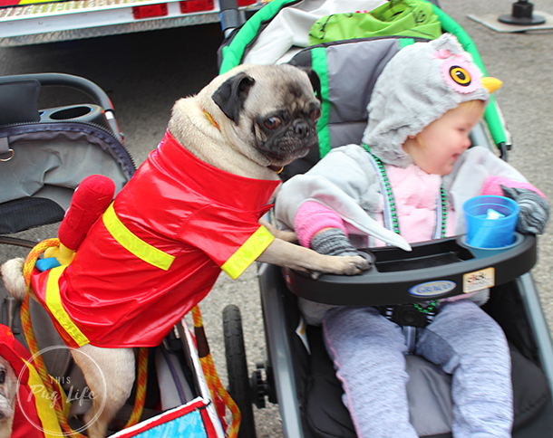 Pug dressed as firefighter trying to steal baby's candy
