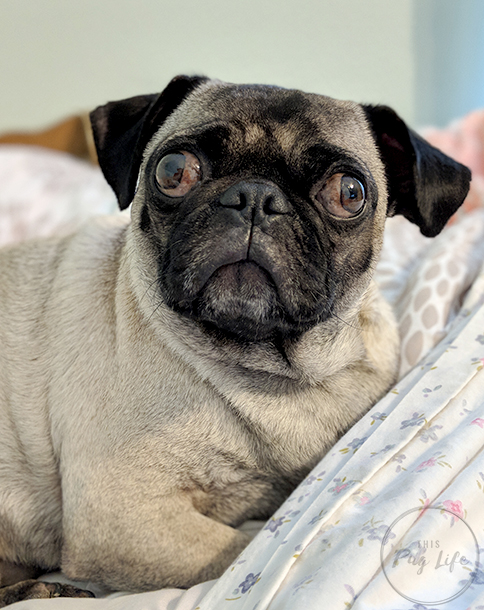 pug pixel 2 xl portrait photo